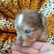 Lilac Schoko Merle Yorkshire Terrier