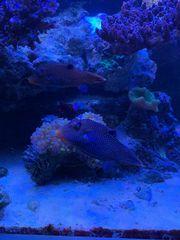 Kugelfisch Paar Canthigaster solandri Meerwasser
