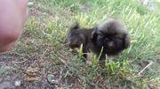 reinrassige Peking palasthund Welpen