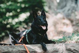 Bild 4 - aufgeweckter kroat Schäferhund Mischlingsrüde Gyros - Holzwickede