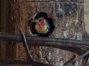 Flammenkopfbartvogel