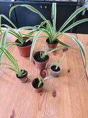 Grünlilie Streifenlilie