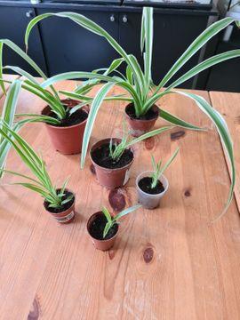 Grünlilie/Streifenlilie