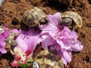 griechische Landschildkröten Jungtiere