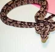 Boa constrictor imperator mexico cancun