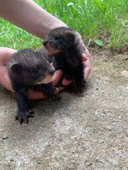 1 1 Frettchen Jungtiere black