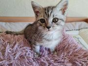 5 Bkh-Ragdoll Kitten