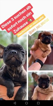 3 Welpen French Bulldog