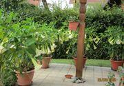 Trompetenbäume Datura zu verschenken