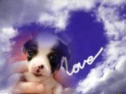 Chihuahua Welpe Aslan sucht ein