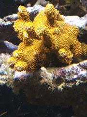 Korallen Ableger SPS und LPS