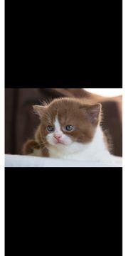 Bkh kitten odd eyed