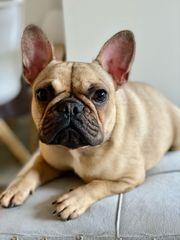Französische Bulldogge Hündin mit Ahnentafel