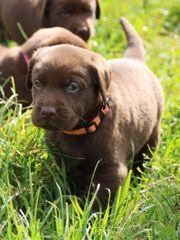 Reinrassige braune Labrador Welpen