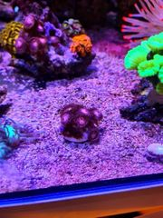 zoantus alien lila meerwasser