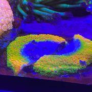 Korallen Meerwasser Montipora Sunset