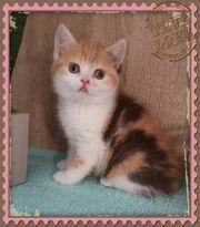BKH Kitten mit Stammbaum abzugeben