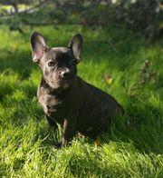 Französische Bulldoggen Welpen mit langer