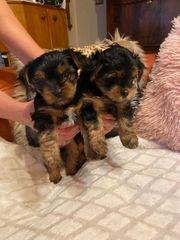 Yorkshire terrier welpen zu verkaufen
