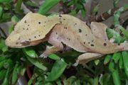 0 1 Kronengecko Correlophus ciliatus -