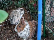 Süsse Kaninchen-Weibchen zu verschenken