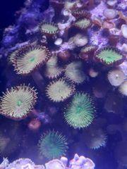 Protopalythoa sp 04 Meerwasser auf