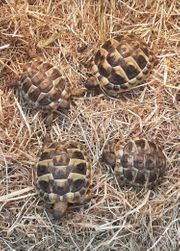 Griechische Landschildkröten Nachzuchttiere aus 2020