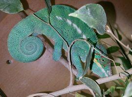 Chamäleon Pantherchamäleon - Furcifer pardalis: Kleinanzeigen aus Münnerstadt - Rubrik Reptilien, Terraristik