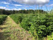 Nordmanntannen Weihnachtsbäume Blaufichten