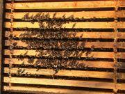Bienen Bienenvölker Carnica