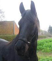 Friesen Pferd - ein Rohdiamant -