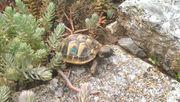 kleine Griechische und maurische Landschildkröten