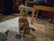 Aufgewecktes reinrassiges Bengalkatzenmädchen 2 oder