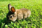 Farbenzwerg Kaninchen
