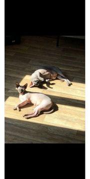 Zwei Canadische Sphynxkatzen abzugeben