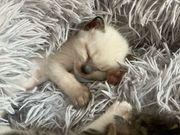 Ragdoll-Snowshoe Kätzchen