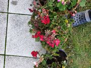div Blumenkästen und Gartenpflanzen zum