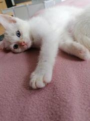 Bengal - Persermix Kitten