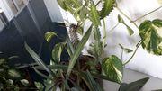 Pflanzen mit Kübel zu verkaufen