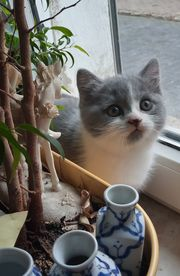 Wunderschöne BKH Kater Kitten
