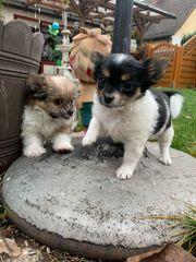 Yorkshire Chihuahua Welpen