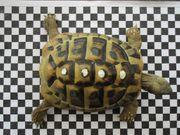 Griechische Landschildkröte männlich 8 Jahre