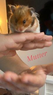 Teddy Hamster Babys Sind da