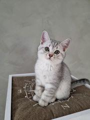 Bkh kitten reinrassig ABHOLBEREIT