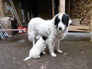Schutzhund Mix Labrador Pyrenäenberghund Groß