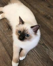 Birma Kätzchen verfügbar