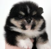 Traumhafte Pomeranian Zwergspitz Welpen in