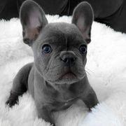 Gesunde französische Bulldoggenwelpen