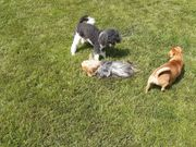 Spielstunde für kleine Hunde