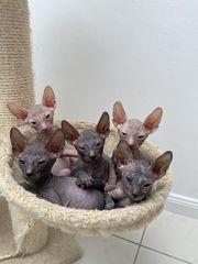 Don Sphynx Kitten mit Tasthaaren